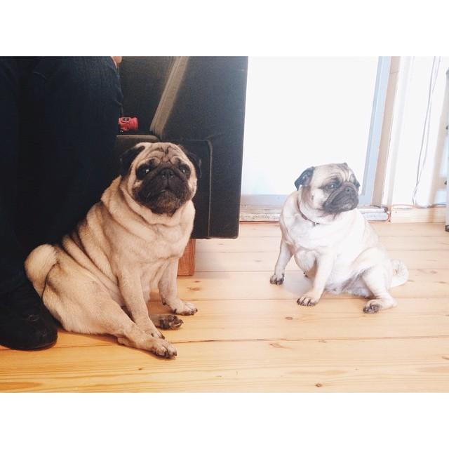 Mom I really like her, why is she making such face? That's the way girls say they like you too baby. #kostja_pug #babymakingbusiness