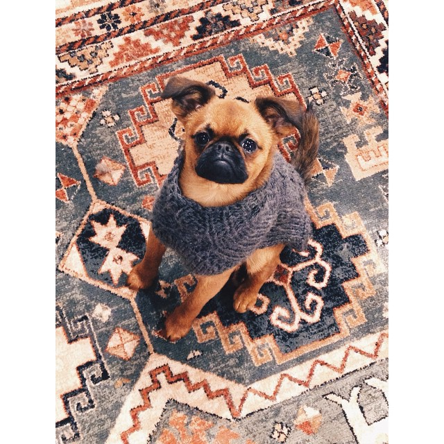 Such petit much lovely. Hello this is pup. #petitbrabancon #griffon @suvimariliis
