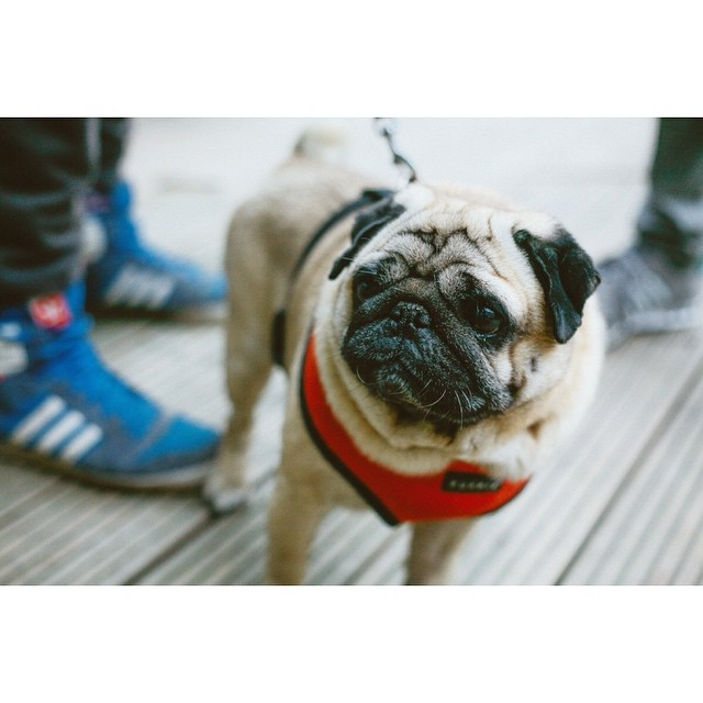 Hej @apalmik thx for snapping such a pretty shot of my senior baby ❤️ #kostja_pug #pug #mops #puglife #bloggersmarket